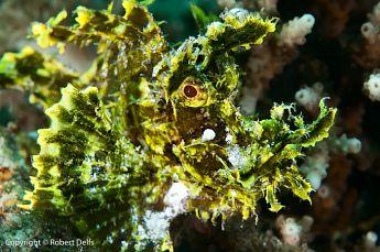 Weedy Scorpionfish (Rhinopias frondosa), P. Lembata