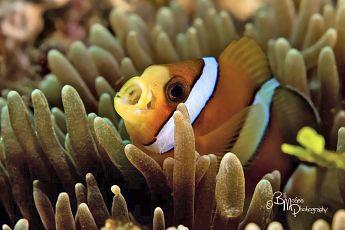 Anemonefish, P. Lembata