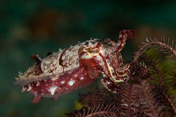 Cuttlefish (Sepia latimanus), P. Lembata