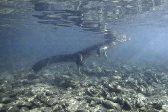 Salt water crocodile, P. Wetar