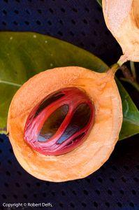 Nutmeg fruit, showing mace around seed. Banda Besar.