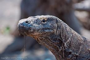 Komodo Dragon, Rinca, Komodo National Park