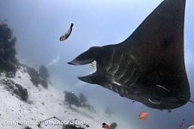 Seven Seas Divers and manta ray, Raja Ampat, December 2010