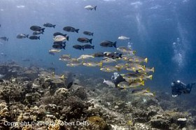 Seven Seas Divers with schools of sweetlips and snappers, Raja Ampat, December 2010