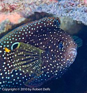 A head-on shot of the shy comet (Calioplesiops altivelis), Southeast Misool, Raja Ampat, December 2010