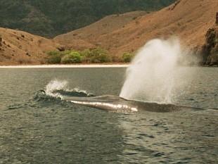 Blue Whale, Komodo