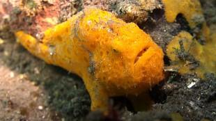 Halimeda Ghostpipefish