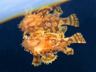 Sargassum Frogfish by Linda Johnston