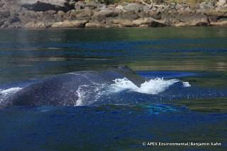 Blue whale in Pantar Strait shallows