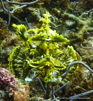 Rhinopias scorpion fish at Lembata