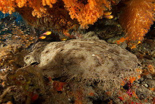 Wobbegong under overhang with soft corals, by Edward Lang