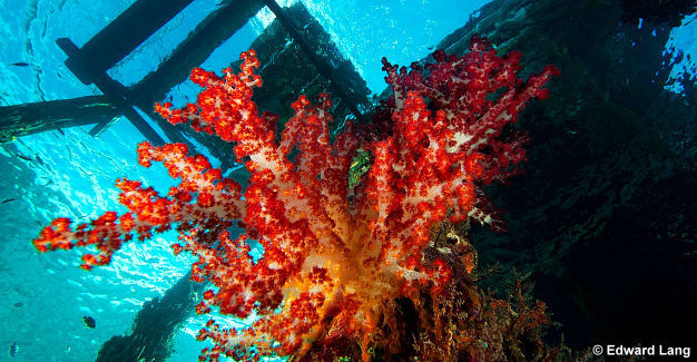 Soft coral under a jetty, by Edward Lang