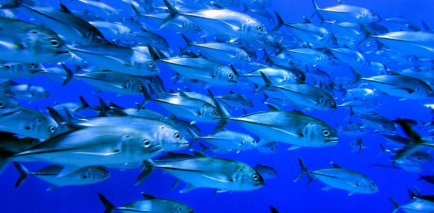 School of giant trevally fish, by Kenneth R. Weiss