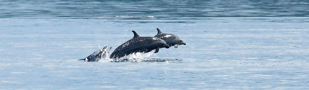 Dolphins, by Robert Delfs