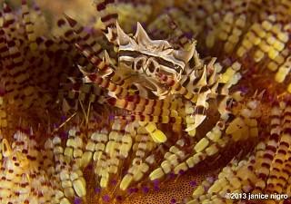 Zebra Crab on a Fire Urchin