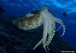 Egg laying giant cuttlefish