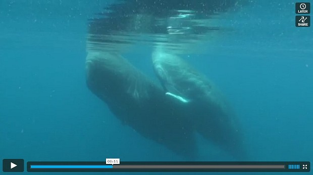 Sperm Whales, East of Flores