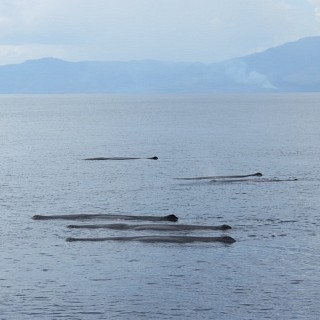 Sperm Whales on surface