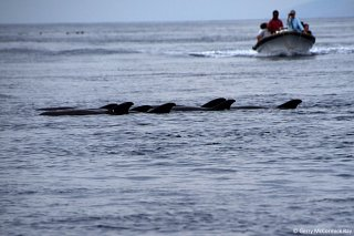 Dolphin & Whale watching in the Pantar Strait