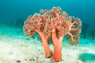 Soft tree corals, Alcatraz