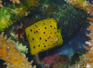 Yellow spotted box fish