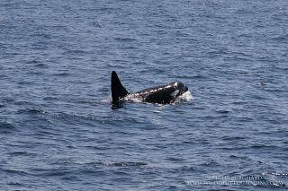 Orca, by Phil Burghard