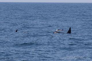 Orca pod, by Phil Burghard