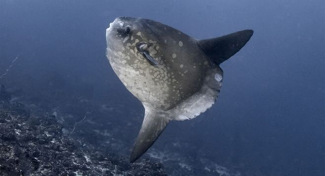 Mola Mola, by Robert Delfs