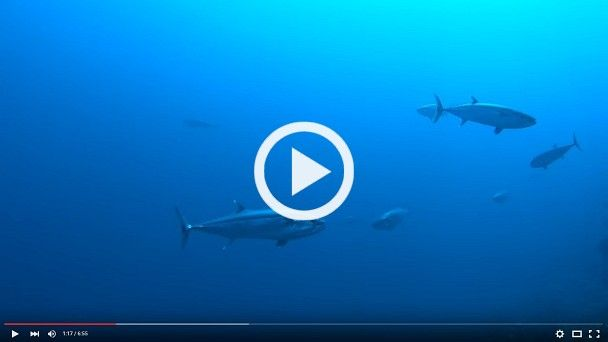 Tuna East of Flores - Video