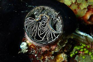 Vermetid gastropod