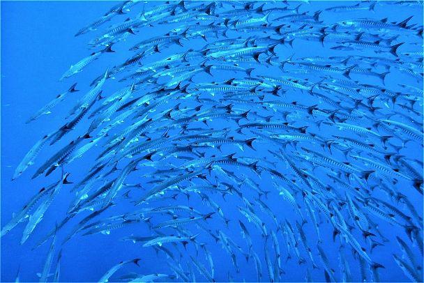 Blackfin barracuda, by Rod Salm