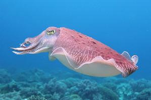 Cuttlefish, by Rod Salm