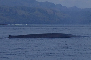 Blue Whale, by Wayne Angelucci