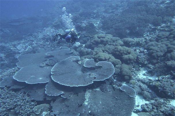 Large table coral, Acropora, Dai Island