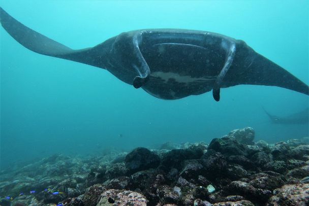 Swimming calmly closer with its swollen belly showing