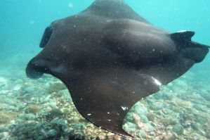 Swollen back of pregnant manta and lacerated left fin