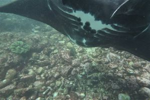 A very close view of the pregnant manta's belly