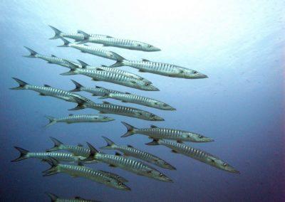 Banda diving