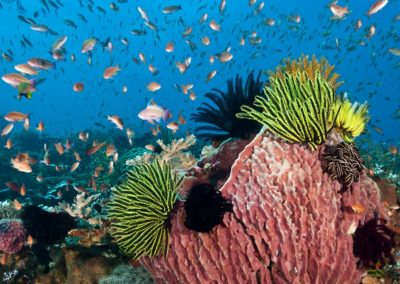 Barrel sponge, crinoids and anthias, Komodo