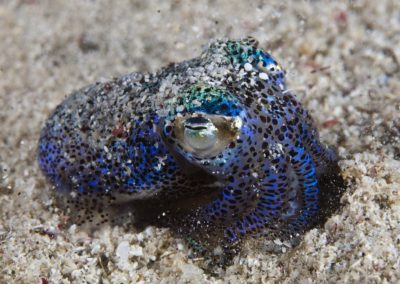 Bobtail squid, Komodo National Park
