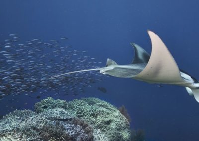 Reef Manta Ray by Hayley Baillie