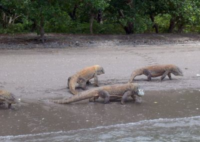 Komodo dragons on beach