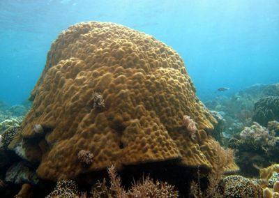250 year old Porites coral Banta__K2_IMG_9355 178