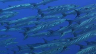 Forgotten Islands - Schooling Fish