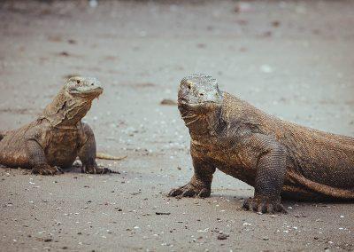 Komodo dragons, © Tommy Schultz