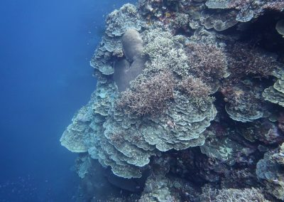 Aggressively growing <i>Porites rus</i> coral covers all, by Rod Salm