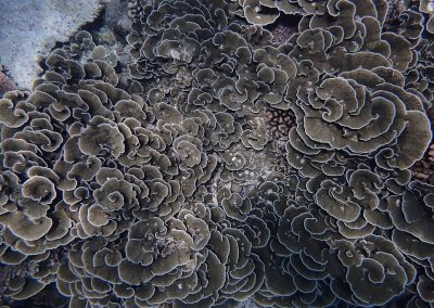 Foliose coral, by Arul Menezes