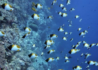 Pyramid butterflyfishes
