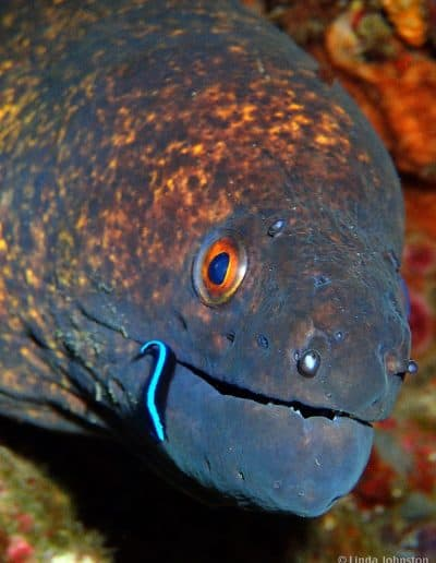 Moray & cleaner wrasse
