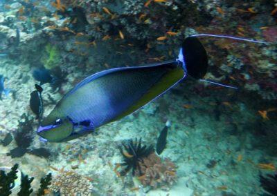 Bignose Unicornfish, Photo by Rod Salm